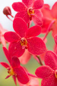 Red Vanda orchid vertical view close up — Stock Photo