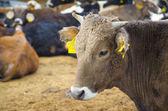 Uma fazenda de gado de novilha — Foto Stock