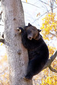 Brown bear in the tree — Stock Photo