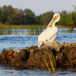 Stockfoto: Pelicgrooming at sunset in Danube Delta