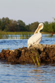 Pelican grooming at sunset in Danube Delta — Stock Photo