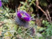 Hummingbird Hawk-moth. Hummingmoth. Macroglossum stellatarum on a Milk Thistle — Stock Photo