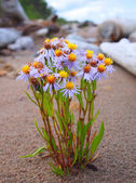 Sea aster in a zone litoralis — Stock Photo
