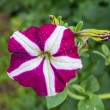 Petunia flower in the garden. — Stock Photo