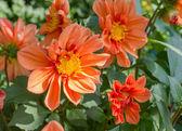 Bush of orange dahlias. — Stock Photo