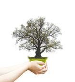 Single old oak in female hands. — Stock Photo
