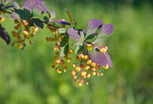 Beautiful barberry branch with flowers in the summer. — Stock Photo
