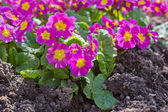 Primrose flowers in the summer. — Stock Photo