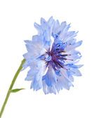 Blue cornflower isolated on the white background. — Foto Stock