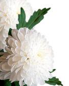 White chrysanthemums. — Stock Photo