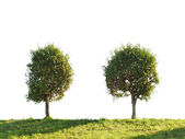 Two poplar trees. — Stock Photo