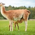 Baby lama sucking milk — Stock Photo #19670603