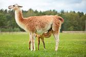 Baby lama sucking milk — Stock Photo