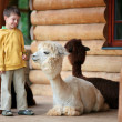 Cute little boy playing with a baby alpaca — Stock Photo #21865485