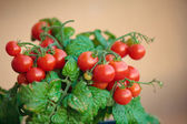 Homegrown cherry tomatoes in a pot — Stock Photo