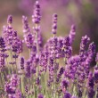 Lavender flowers in the field — Stock Photo