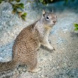 American grey squirrel at Yosemite National Park — Stockfoto