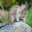 American grey squirrel at Yosemite National Park — Stock Photo