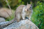 ヨセミテ国立公園でアメリカの灰色のリス — ストック写真