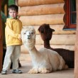 Cute little boy playing with a baby alpaca — Stock Photo #38806481