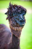 Close-up of a beautiful young alpaca — Stock Photo