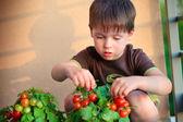 ładny chłopczyk zebrać wychowanków pomidorkami — Zdjęcie stockowe