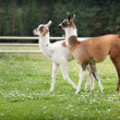 Stockfoto: Two baby lamas on farm yard