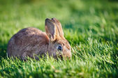 Easter rabbit on fresh green grass — Stock Photo