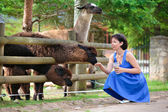 Young attractive woman feeding a group of lama — Stock Photo