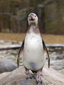 Humboldt penguin — Stock Photo