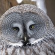 Grey owl - Strix nebulosa — Stock Photo