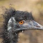 Emu ostrich — Stock Photo