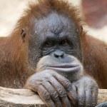 Orangutan baby — Stock Photo #18682783