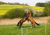 Two young horses playing together — Stock Photo