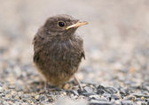 Blackbird - Turdus merula — Stock Photo