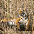 Resting sumatran tiger - Stock Photo