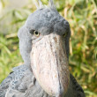 Shoebill (Balaeniceps rex) — Stock Photo