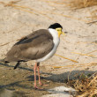 Stock Photo: Masked lapwing (Vanelus miles)