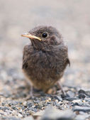 Blackbird nestling — Stock Photo
