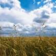 Sumer wheat field and sky — Stock Photo