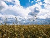 Sumer wheat field and sky — Stock Photo