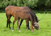 Mare and foal on pasture — Stock Photo
