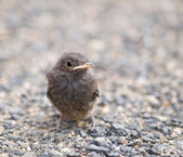 Nestling of blackbird — Stock Photo