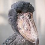 Shoebill whale-headed stork — Stock Photo #51306555