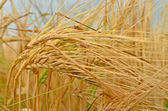 Wheat spikelet after rain — Stock Photo