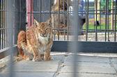 Lynx in the zoo — Stock Photo