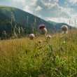 Thistles on a meadow - Stock Photo