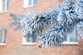 Pine branch in the snow — Stock Photo