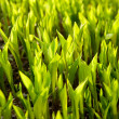 Fresh green grass (leaves of lily of the valley). — Stock fotografie