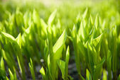 Background from the leaves of lily of the valley in the early mo — Stock Photo